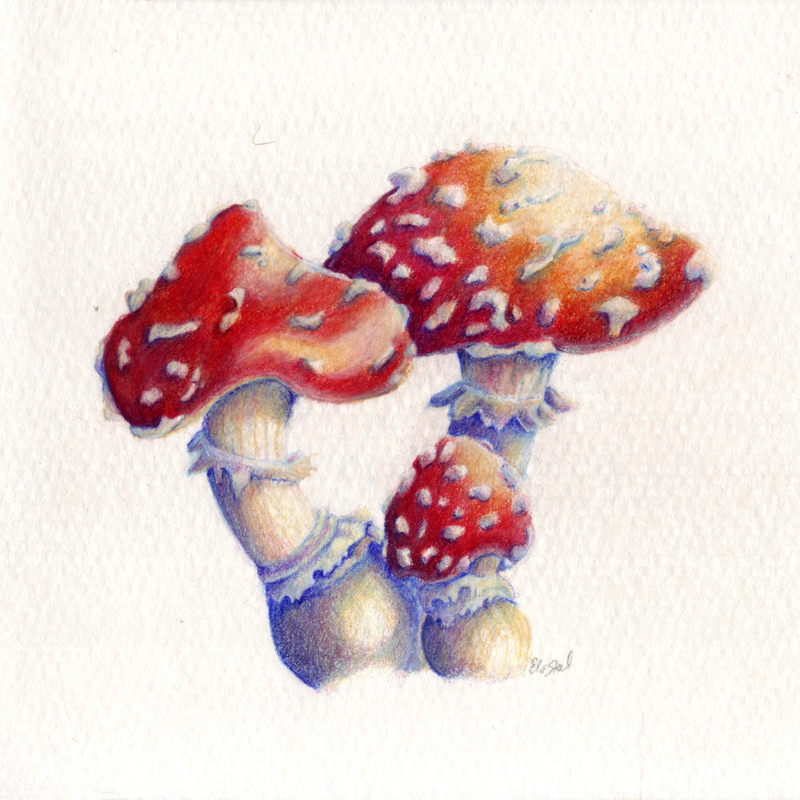 amanita muscaria magic mushroom drawing